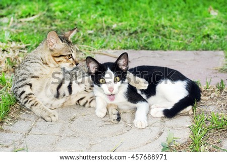 amazing animal of two thai  kittens playing together on backyard.