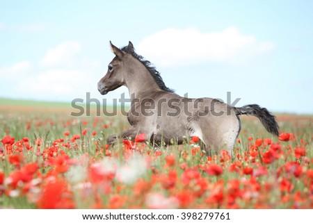 Amazing arabian foal running alone in red poppy field - stock photo