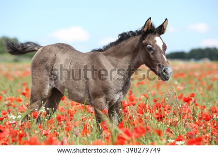 Amazing arabian foal standing in red poppy field alone