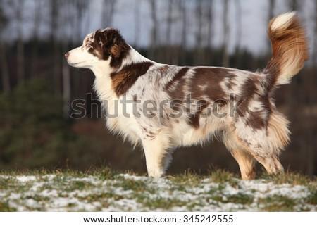Amazing australian shepherd standing in winter - stock photo