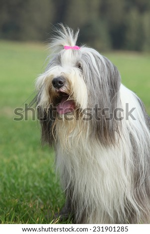 Amazing Bearded collie sitting in the grass