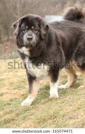 Amazing big Tibetan mastiff patrolling in the garden - stock photo