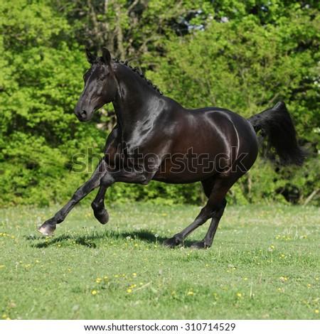 Amazing black dutch warmblood running on pasturage - stock photo
