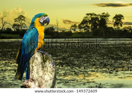 Amazing Blue and Yellow ( Arara ) Macaw in Pantanal, Brazil - Pantanal is one of the world's largest tropical wetland areas located in Brazil , South America - stock photo