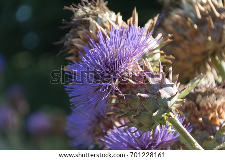 Cardoon | FAO | Food and Agriculture Organization of the ...
