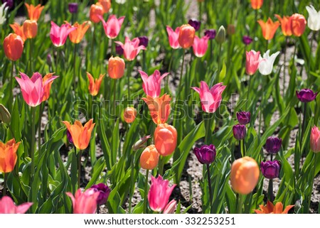 Amazing colorful tulips blooming in the park on the sunny day - stock photo