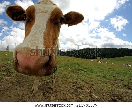 amazing cow muzzle photographed with fisheye lens from very close - stock photo