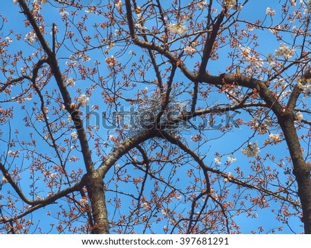 Amazing crow's nest. House crow by hanger in tree.Crows build their nets by hanger on the cherry blossom branches in HDR.Bird nest. - stock photo