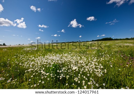 Amazing daisy field, spring flowers in Latvia, Baltic state, Europe - stock photo
