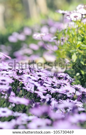 Amazing Field from beautiful Purple Osteospermum Daisy on green grass.  It is known as African daisy. - stock photo