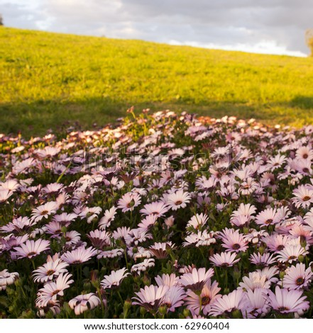 Amazing field of pink daisies at sunset
