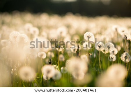 Amazing field with white dandelions at sunset. Photo with beautiful bokeh - stock photo