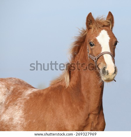 Amazing foal with halter looking at you - stock photo