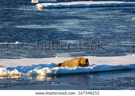 Amazing frost sea landscape ,walrus floating on the pick of ice - stock photo