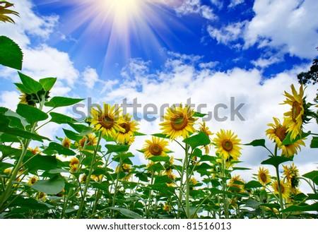 Amazing , fun sunflowers against blue sky. - stock photo