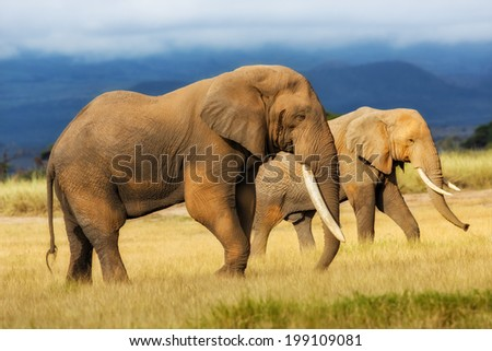 Amazing grazing Elephant bull with Elephant cow in the background in Amboseli National Park, Kenya - stock photo