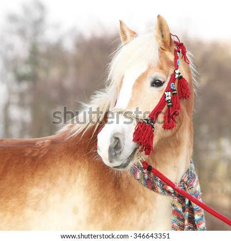 Amazing haflinger with red showhalter in winter - stock photo