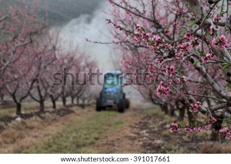 Amazing Landscape , Wonderful view of flowering. Gorgeous peach trees in bloom while farmer sprays insect repellent in colorful backround. (Purple flowers , Landscape Picture ) - stock photo