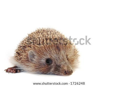 Amazing little hedgehog isolated on white . With large area for your text. - stock photo