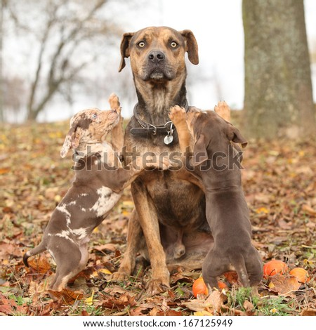 Amazing Louisiana Catahoula dog with adorable puppies in autumn  - stock photo