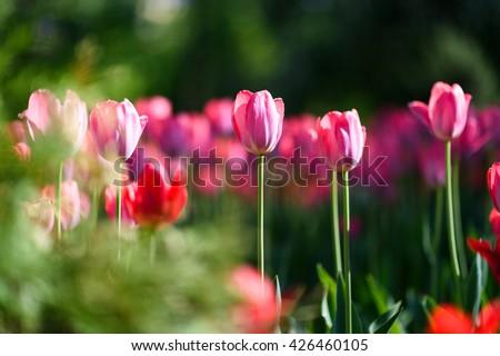 Amazing nature of pink tulips & sunlight garden landscape. Sunny nature. Nature flower & sun. Nature. Garden nature. Green nature. Nature life. Nature Nature view. Great nature. Sunny nature. Nature - stock photo