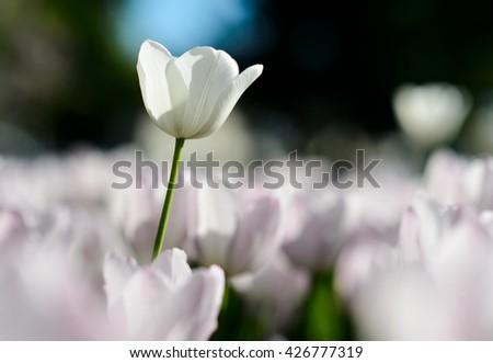 Amazing nature of white tulips & sunlight garden landscape. Sunny nature. Nature flower & sun. Nature. Garden nature. Green nature. Nature life. Nature Nature view. Great nature. Sunny nature.  - stock photo
