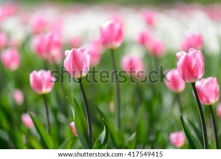 Amazing nature view of pink tulips in garden & sunlight. Sunny nature. Nature flower & sun. Nature. Beautiful nature. Green nature. Nature life. Nature Nature view. Great nature. Sunny nature. Nature - stock photo