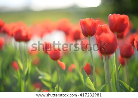 Amazing nature view of red tulips in garden & sunlight. Sunny nature. Nature flower & garden Nature. Beautiful nature. Green nature. Nature life. Nature Nature view. Great nature. Sunny nature. Nature - stock photo