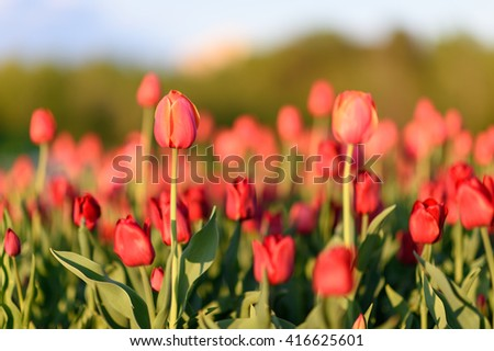 Amazing nature view of red tulips in garden & sunlight. Sunny nature. Nature flower & sun. Nature. Beautiful nature. Green nature. Nature life. Nature Nature view. Great nature. Sunny nature. Nature - stock photo