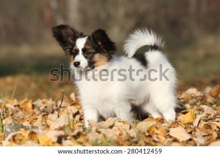 Amazing paillon puppy standing in the autumn leaves - stock photo