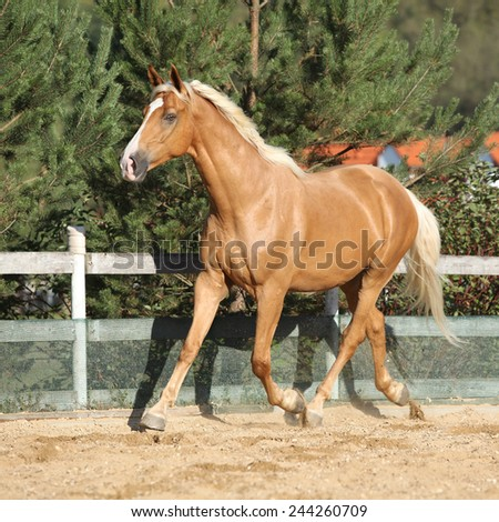 Amazing palomino czech warmblood with blond hair running alone