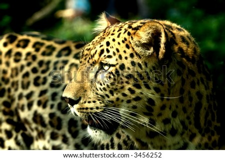 Amazing portrait of a leopard mother  - stock photo