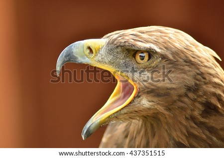 amazing portrait of golden eagle in the park - stock photo