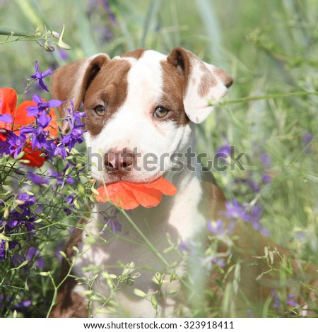 Amazing puppy of American Pit Bull Terrier sitting in flowers - stock photo
