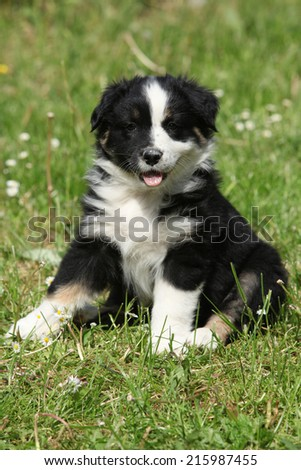 Amazing puppy of australian shepherd sitting in the grass in spring
