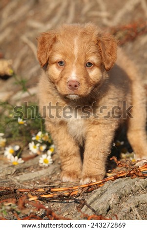 Amazing puppy of Nova Scotia Duck Tolling Retriever standing on nature roots - stock photo