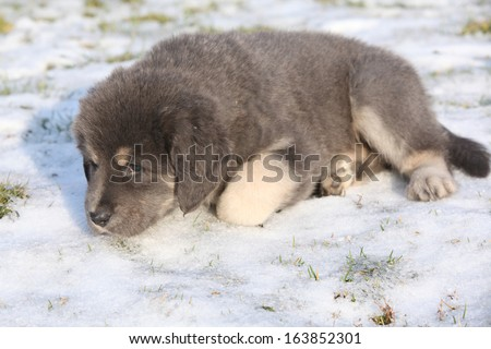 Amazing puppy of Tibetan mastiff lying in winter - stock photo
