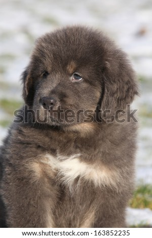 Amazing puppy of Tibetan mastiff sitting in winter - stock photo