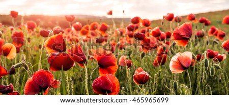 amazing red flowers of poppy on sky background. copy spase.  closeup. small depth of field. original creative image. Retro and vintage style,
