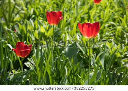 Amazing red tulips blooming in the park on the sunny day - stock photo