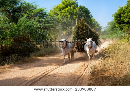 Amazing rural landscape with two white oxen pulling cart with hay on dusty road and Asian man riding. Myanmar (Burma) - stock photo