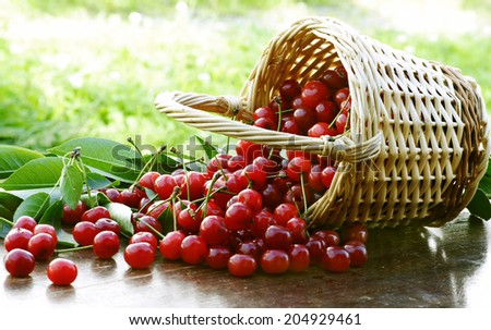 amazing sour cherries in summer time - stock photo