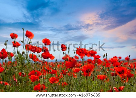 Amazing spring poppy field landscape against colorful sky and light clouds  - stock photo