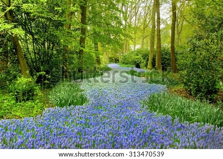 Amazing stream  of blooming blue  muscari flowers in the famous park Keukenhof, Netherlands   - stock photo