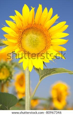 amazing sunflowers and blue sky background - stock photo
