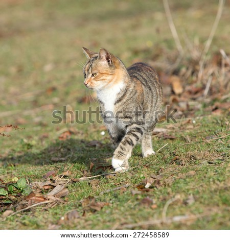 Amazing tricolour cat moving in the garden in autumn - stock photo