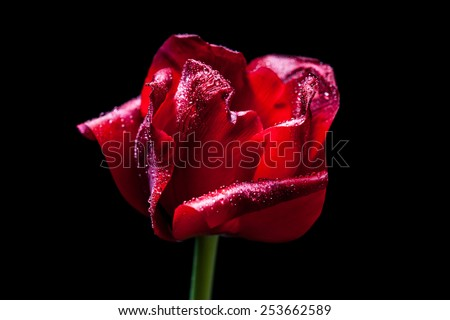 Amazing Tulip, Beautiful red flower with shining diamonds drops on petals,on black background. Macro image with special artistic effect - soft focus, accent on drops, mysterious lighting. - stock photo