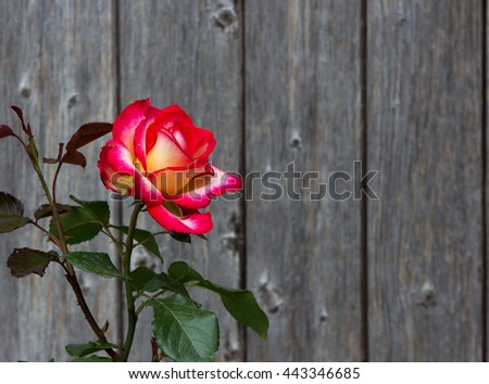 Amazing Two colored Rose Blossom in front of wooden background, romantic, with copy space. - stock photo