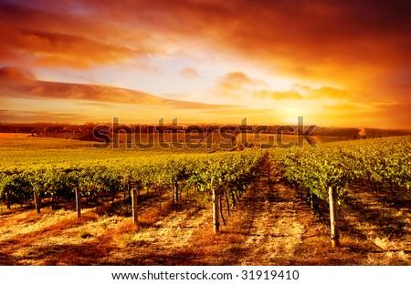 Amazing Vineyard Sunset in South Australia - stock photo