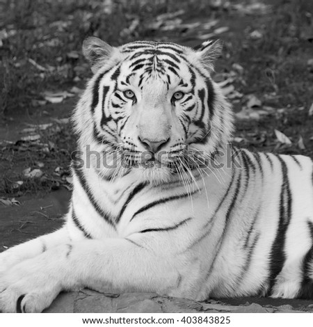 Amazing white bengal tiger, wonderful animal, lying among fallen leaves. Wild beauty of the most dangerous beast of the world. Portrait of the biggest cat. Black and white square image. - stock photo